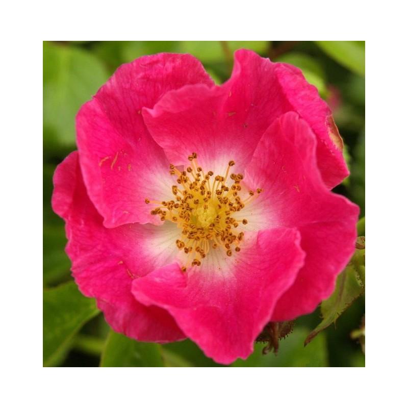 Esencia de Escaramujo o Rosa Silvestre