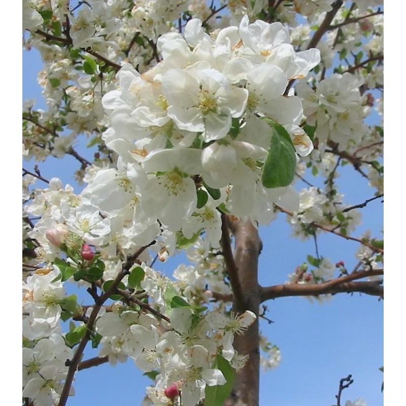 Esencia de Manzano Silvestre