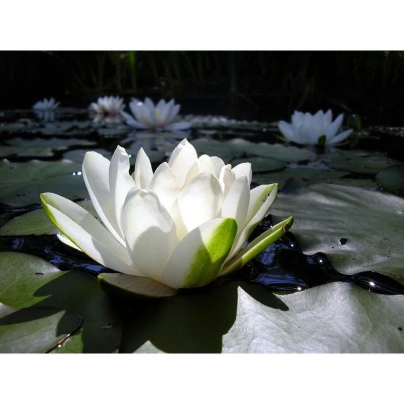 Esencia de Lotus