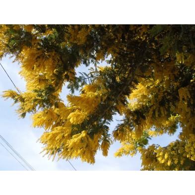 Esencia de Mimosa