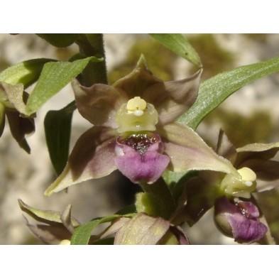 Orquidea Europea Epipactis Tremolsii