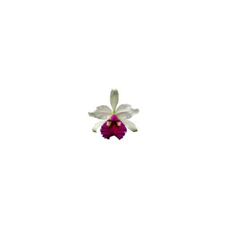 Esencia Orquídea Abundancia