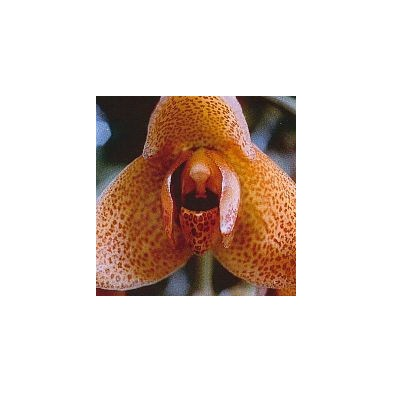 Esencia Orquídea Agresión