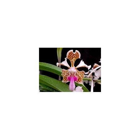 Esencia Orquídea Alegría