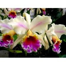 Esencia Orquídea Amazonas