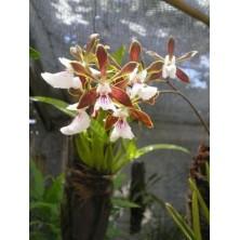 Esencia Orquídea Chocolate