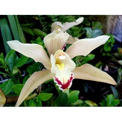 Esencia Orquídea Coordinación