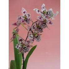 Esencia Orquídea Corazón