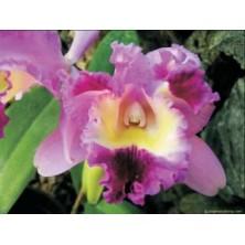 Esencia Orquídea Deva