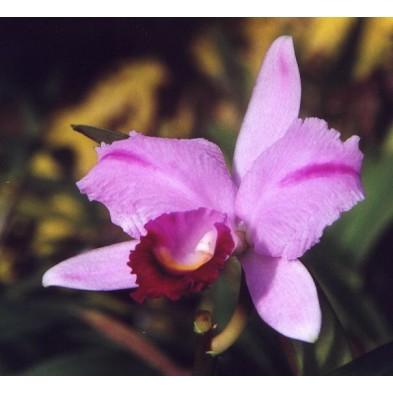 Esencia Orquídea Inspiración