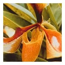 Esencia Orquídea Psiquis