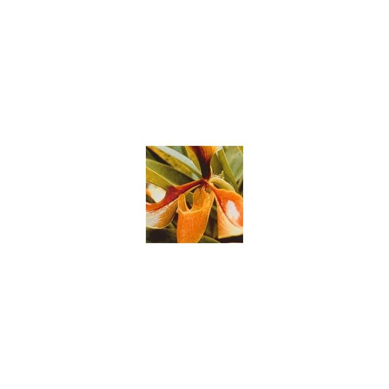 Esencia Orquídea