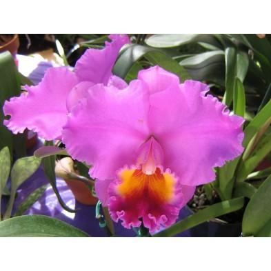 Esencia Orquídea Ser Superior