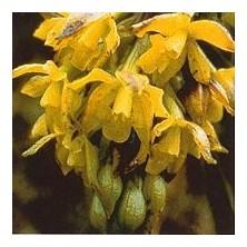 Esencia Orquídea Sol