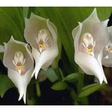 Esencia Orquídea Venus