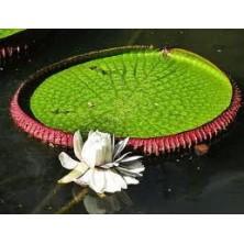 Esencia Orquídea Victoria Regia