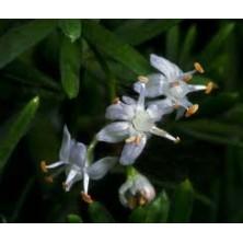 Esencia Silvestre de Esparraguera