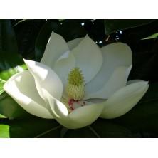 Esencia Silvestre de Magnolio