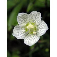 Esencia Silvestre de Panarssia - Hepática Balca