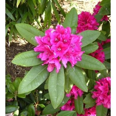 Esencia Silvestre de Rododendro